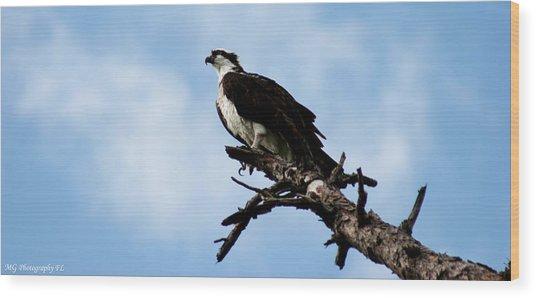Osprey On Perch Wood Print