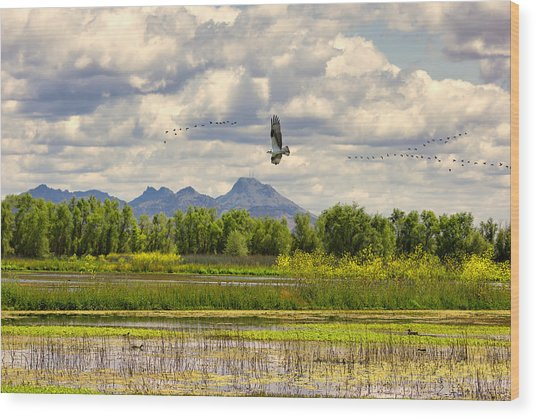 Osprey Over The Wetlands Wood Print