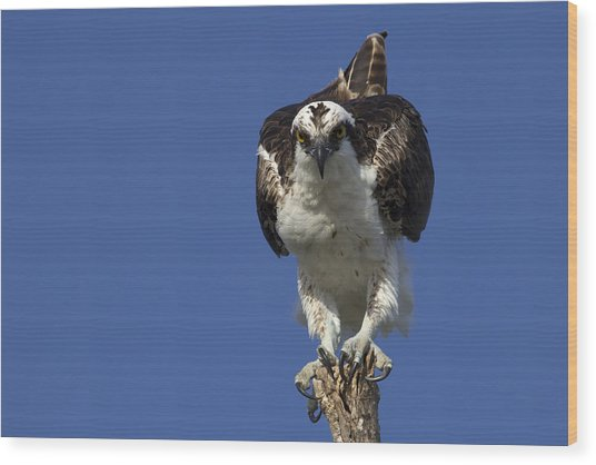 Osprey Photo Wood Print