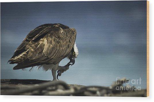 Osprey Scratchin' Wood Print by Richard Mason