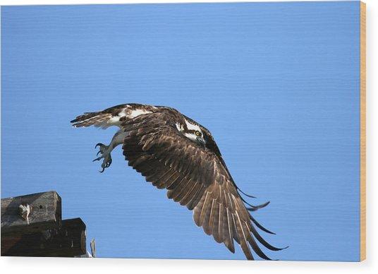 Osprey Wings Forward Wood Print by Darrin Aldridge