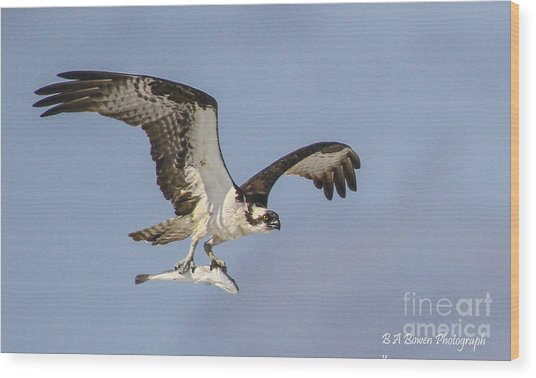Osprey With Dinner Wood Print