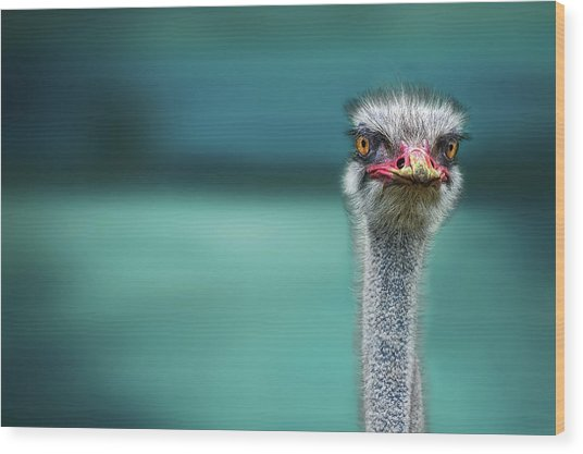 Ostrich Protecting Two Poor Chicken From The Wind Wood Print