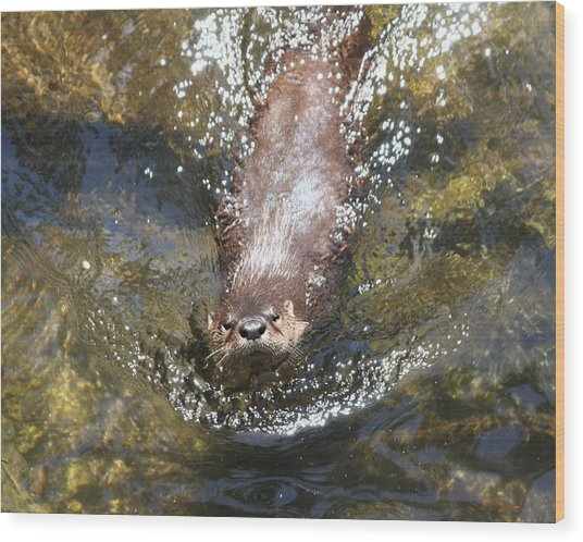 Otter In Florida Wood Print