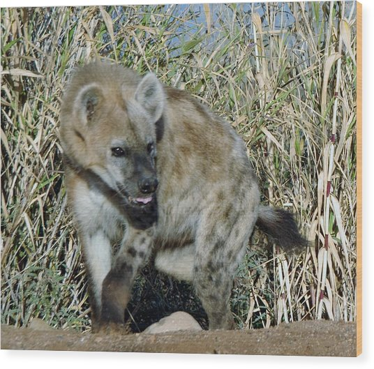 Out Of Africa  Hyena 2 Wood Print