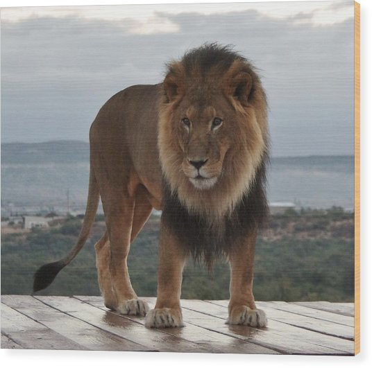Out Of Africa Lion 3 Wood Print