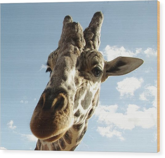 Out Of Africa  Reticulated Giraffe Wood Print