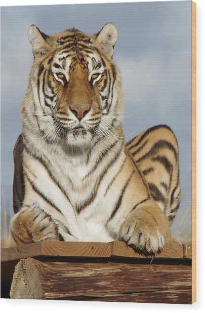 Out Of Africa Tiger 4 Wood Print