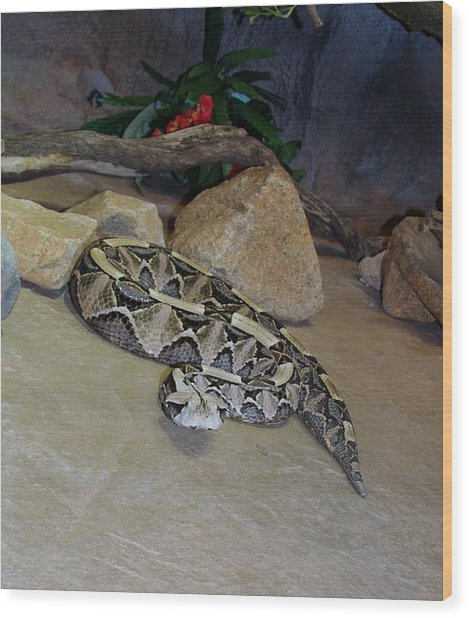 Out Of Africa Viper 2 Wood Print