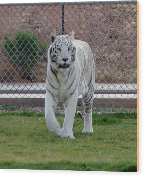 Out Of Africa White Tiger Wood Print