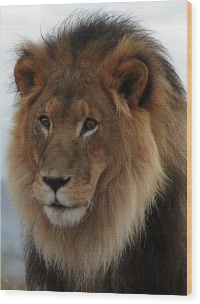 Out Ofafrica  Lion 4 Wood Print