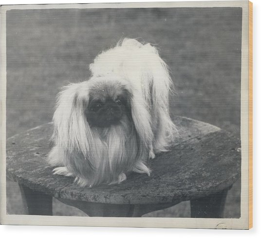 Owner- Refuses £10,500 Offer For Pekinese Wood Print by Retro Images Archive