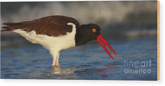 Oystercatcher In Surf Wood Print