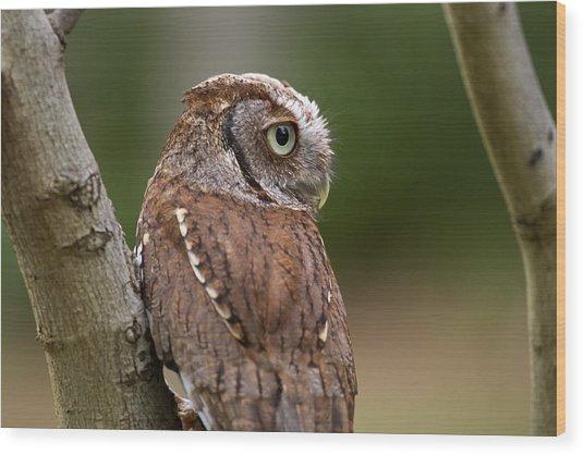 Pablo The Screech Owl Wood Print