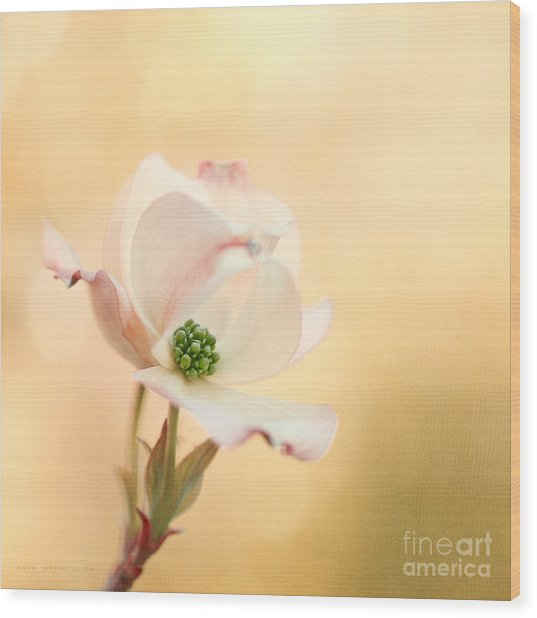 Pacific Dogwood Wood Print by Beve Brown-Clark Photography