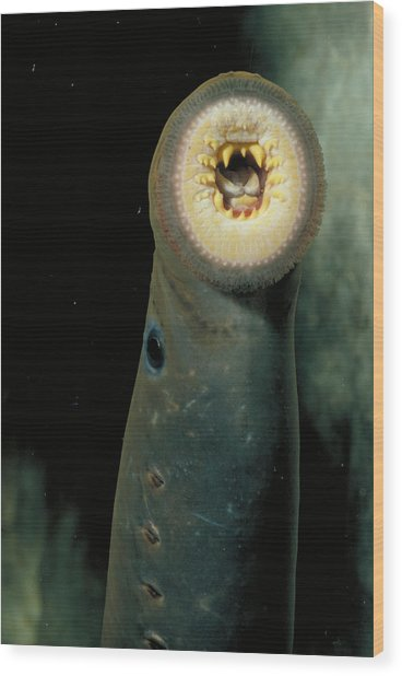 Pacific Lamprey Wood Print by Rondi Church