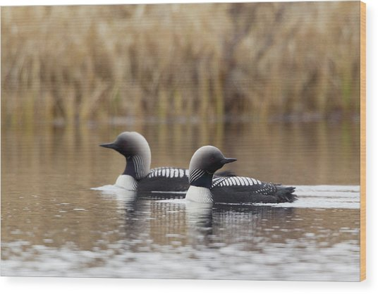Pacific Loon Pair Wood Print