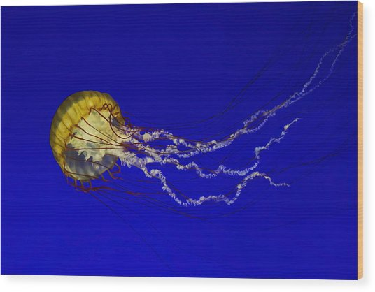 Pacific Sea Nettle Wood Print