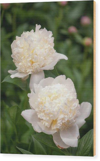Paeonia Lactiflora 'bridal Icing' Wood Print