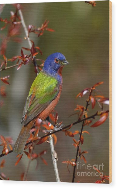 Painted Bunting - Male Wood Print