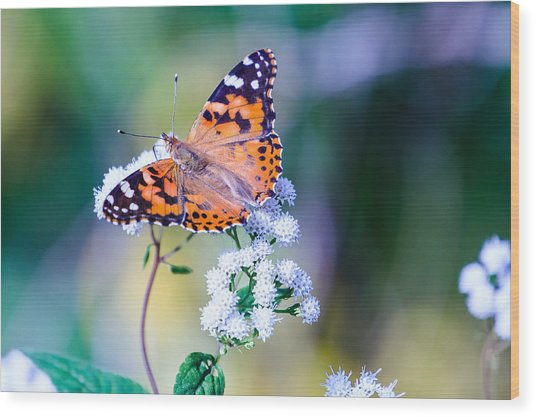 Painted Lady Butterfly 1 Wood Print