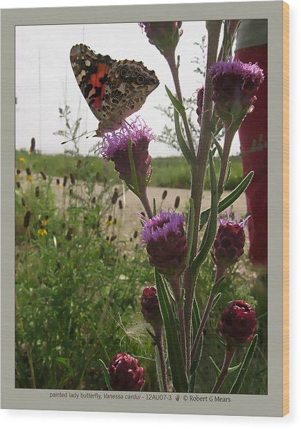 painted lady butterfly - Vanessa cardui - 12AU07-3 Wood Print by Robert G Mears