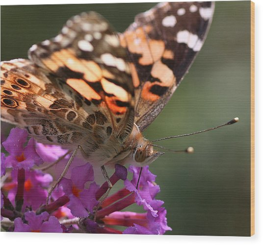 Painted Lady On Butterfly Bush Wood Print