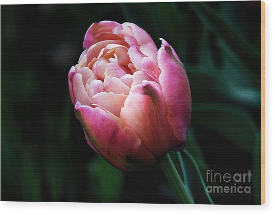 Painted Tulip Wood Print