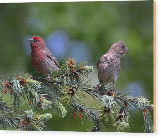 Pair Of Purple Finches Wood Print