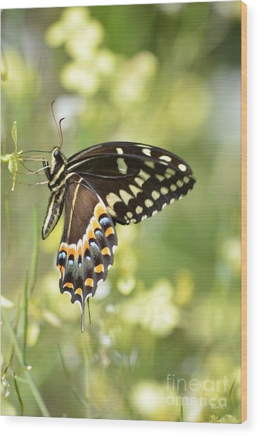 Palamedes Swallowtail 2 Wood Print