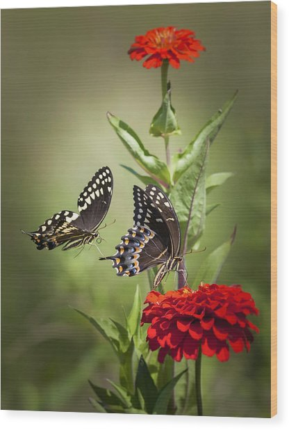 Palamedes Swallowtail Butterflies Wood Print