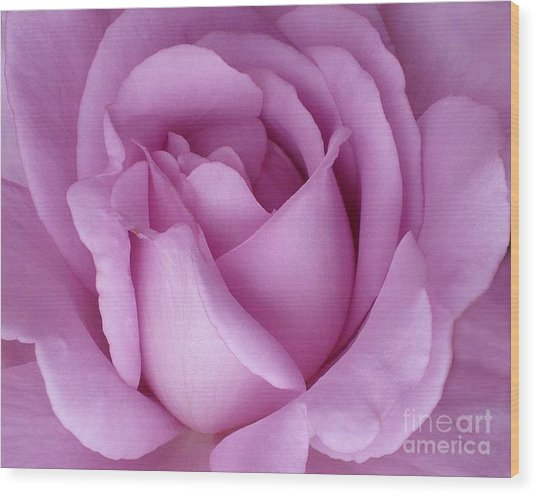 Pale Magenta Rose Wood Print