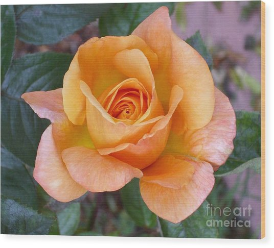 Pale Orange Rose Wood Print