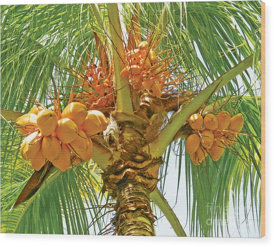 Palm Tree With Coconuts Wood Print