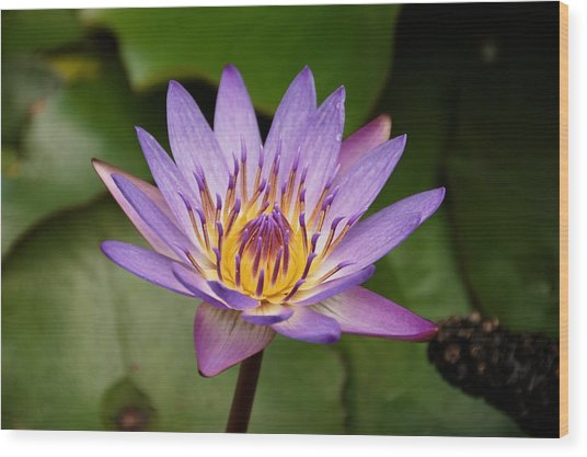 Wood Print featuring the photograph Panama Pacific Water Lily by Trever Miller