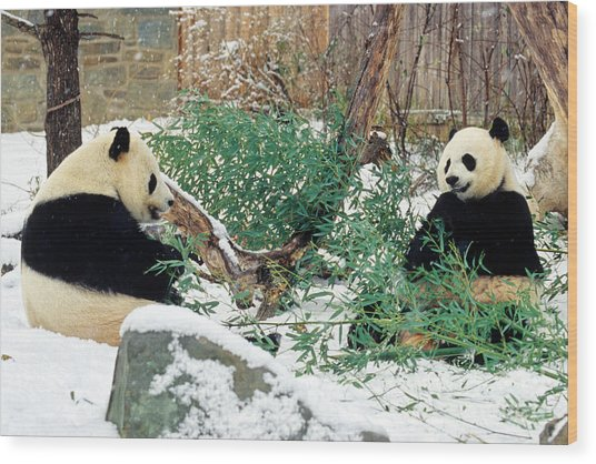 Panda Bears In Snow Wood Print