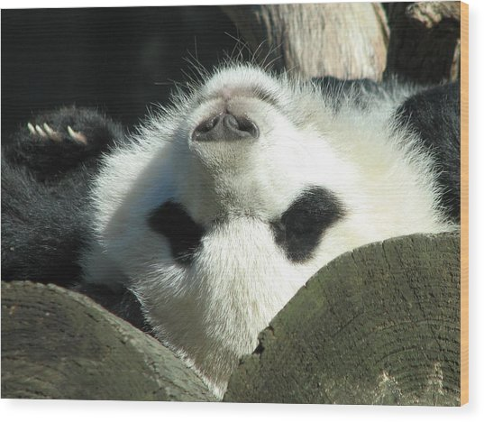 Panda Playing Possum Wood Print