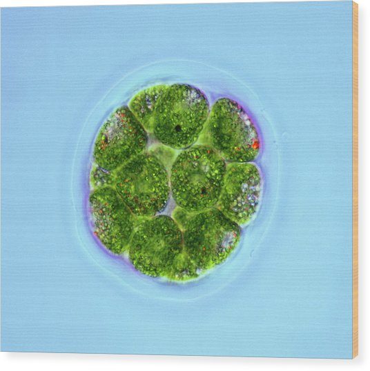 Pandorina Green Algae Wood Print by Marek Mis
