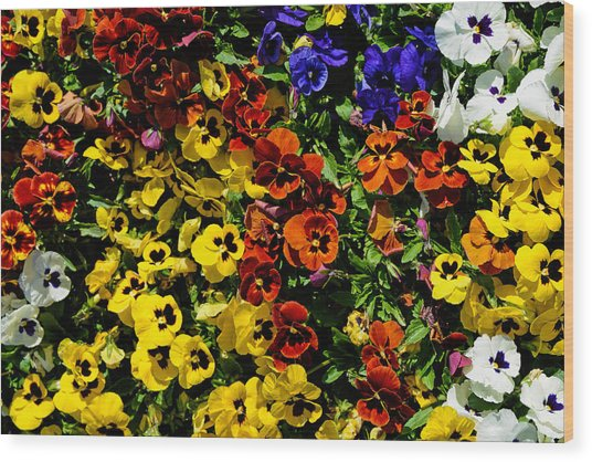 Pansy Color Mix  Wood Print