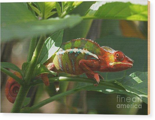 Panther Chameleon Madagascar 1 Wood Print
