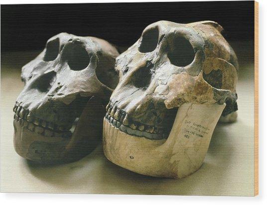Paranthropus Boisei Skulls Wood Print by Science Photo Library