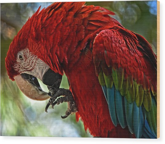 Parrot Preen Hdr Wood Print