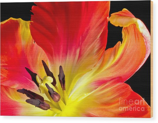 Parrot Tulip On Fire Wood Print