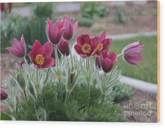 Pasque Flowers Wood Print