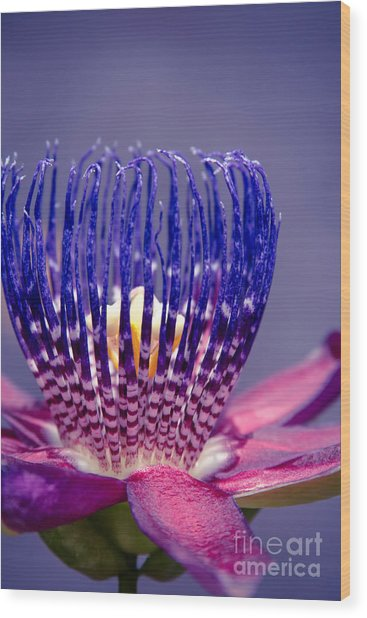 Wood Print featuring the photograph Passiflora Alata - Ruby Star - Ouvaca - Fragrant Granadilla -  Winged-stem Passion Flower by Sharon Mau