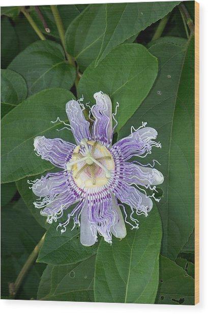 Passion Flower Iv Wood Print