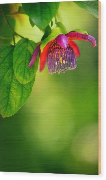 Passion Flower Wood Print by Julio Solar