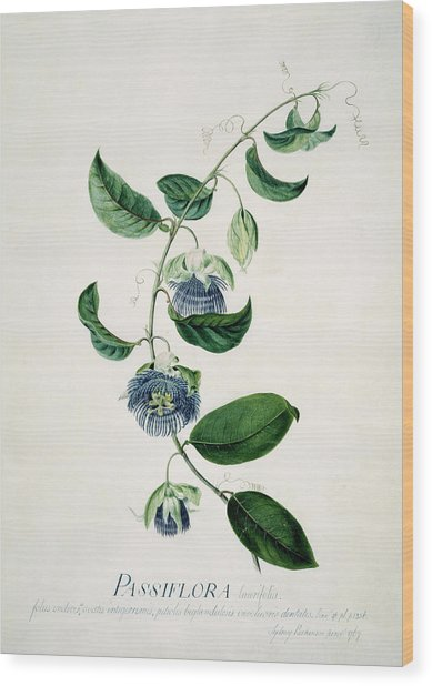 Passion Flower Wood Print by Natural History Museum, London/science Photo Library