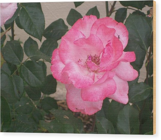 Passion Pink Wood Print