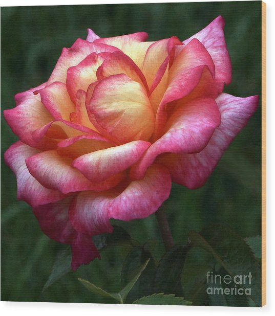 Passionate Shades Of A Perfect Rose Wood Print